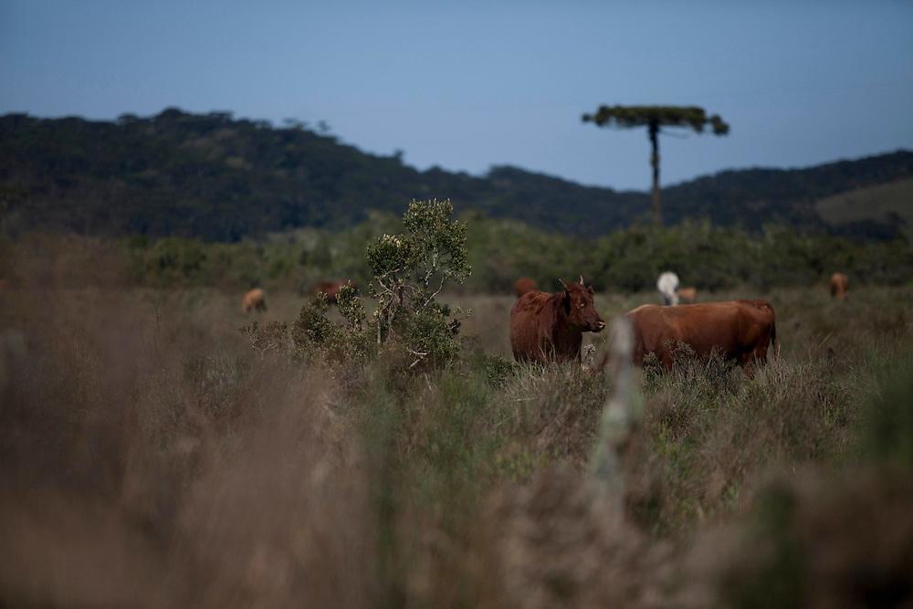Cambara do Sul_RS, Brasil.<br /> <br /> Zona rural do municipio de Cambara do Sul, Rio Grande do Sul.<br /> <br /> Countryside in Cambara do Sul, Rio Grande do Sul.<br /> <br /> Foto: JOAO MARCOS ROSA / NITRO