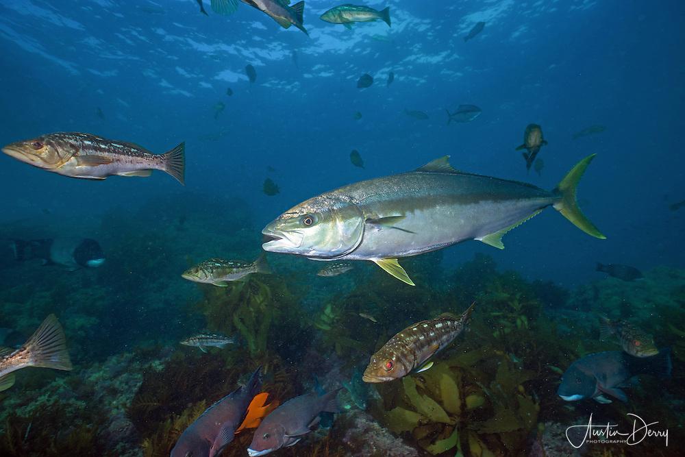 California Gamefish on Bottom