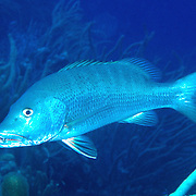 Cubera Snapper inhabit deep reefs, usually below 60 feet, in Tropical West Atlantic; picture taken Grand Cayman.
