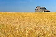 Old barn and barley crop<br /> near Trochu<br /> Alberta<br /> Canada