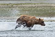 A brown bear adult chases salmon in the lower lagoon at the McNeil River State Game Sanctuary on the Kenai Peninsula, Alaska. The remote site is accessed only with a special permit and is the world's largest seasonal population of brown bears in their natural environment.