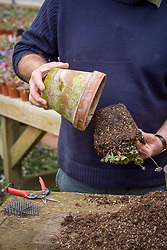 Repotting and dividing a hepatica.<br /> Tipping out of pot once it has finished flowering