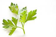 fresh parsley leaf On white Background