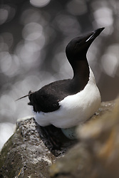 USA ALASKA ST PAUL ISLAND 8JUL12 - A thick-billed murre (Uria lomvia) breeds on the island of St. Paul in the Bering Sea, Alaska.......Photo by Jiri Rezac / Greenpeace....© Jiri Rezac / Greenpeace