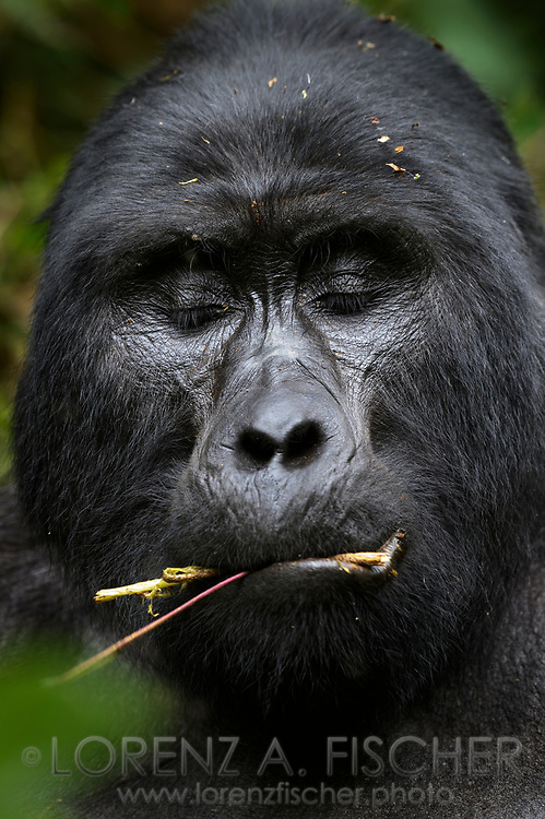 Face of an eating male silver back mountain gorilla (Gorilla beringei beringei) with closed eyes, Bwindi Impenetrable National Park, Uganda