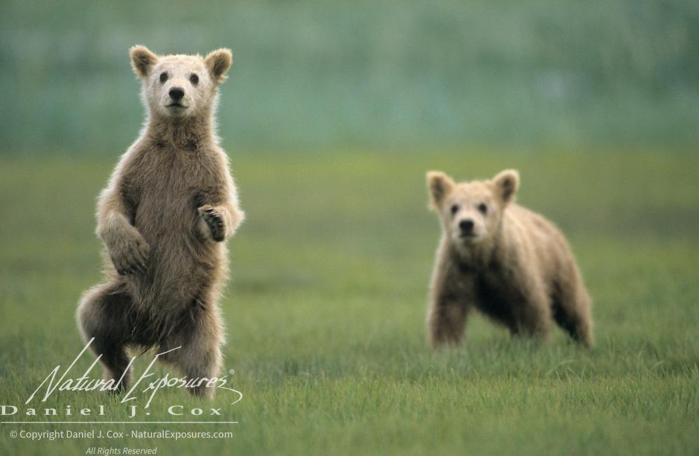 Alaskan Brown Bear (Ursus middendorffi) cubs; one on its hind legs dancing. Alaskan Peninsula