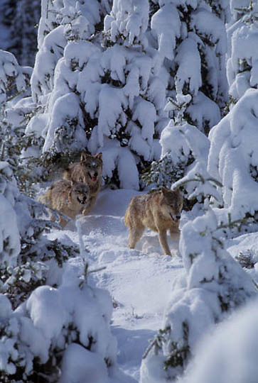 Gray Wolf, (Canis lupus) Pack running though Snowy pines. Rocky mountains.  Captive Animal.