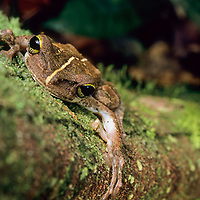 GRENOUILLE ARBORICOLE, Osteocephalus taurinus, Guyane Française