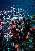 UNDERWATER MARINE LIFE WEST PACIFIC, southwest SPONGES: Barrel sponge with corals and  colorful fish in reef environment, Demospongiae