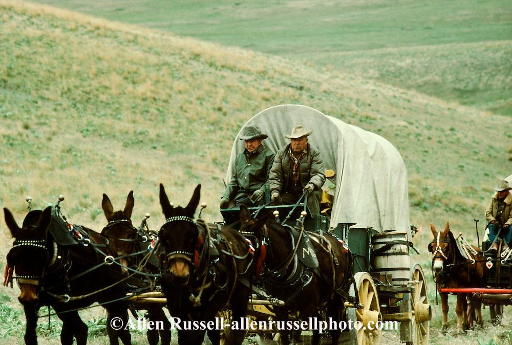 Mule (Mulus mula) drawn wagon train, Montana, MODEL RELEASED