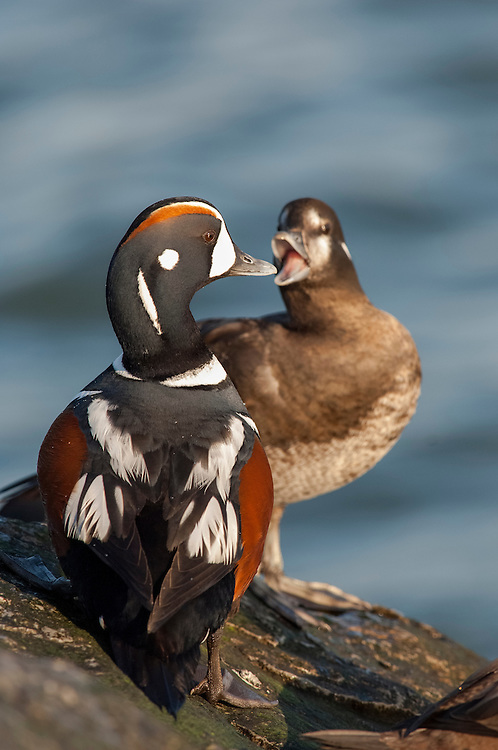 Harlequin Ducks, Histrionicus histrionicus, male & female, Barnegat Light, New Jersey