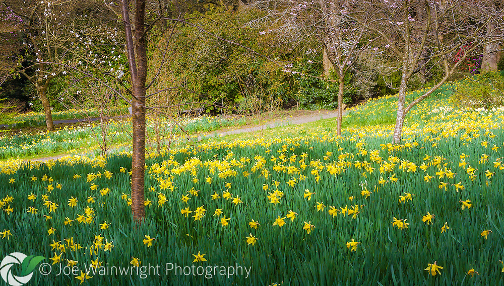 Swathes of daffodils bring April colour to Bodnant Gardens, near Conwy, North Wales.