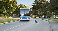 Beacon Hill Park is a large city park in Victoria, BC Canada and features man-made ponds with fountains, bridges, flower gardens and wild natural areas. Peacocks roam freely and rule the roost. Here a bus waits for a peacock to slowly cross the road.
