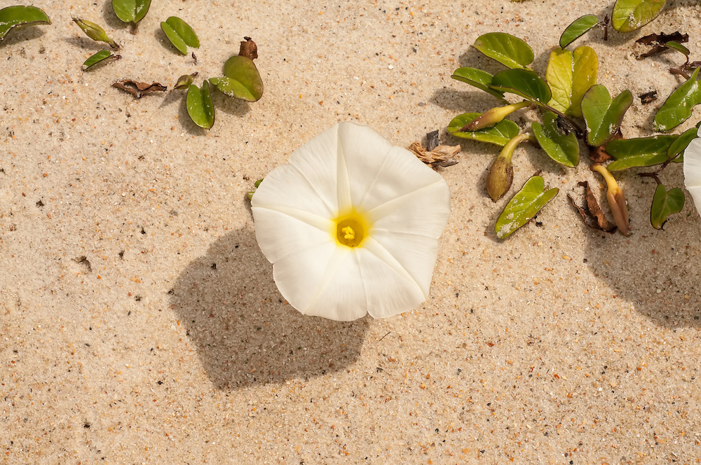 From the Caribbean and the Gulf Coast of Mexico to the Carolinas, the beach morning glory is a white, large flowering vine comon on the sandy beaches of the Southeast. This one was one of many blooming early on a springtime Florida morning on St. George Island.