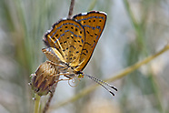 Calephelis wrighti - Wright's Metalmark