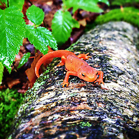 Newt on a log.<br />