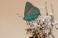 Callophrys dumetorum superperplexa - Lotus Hairstreak