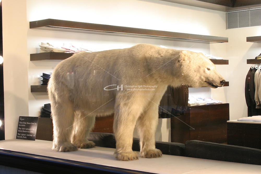 polar bear in shop window on saville row