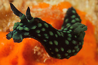 Nudibranch (Nembrotha kubaryana).Pisang Islands, W of Fak Fak Peninsula.