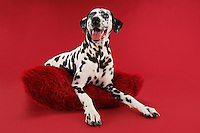 Dalmatian Sitting on Cushion