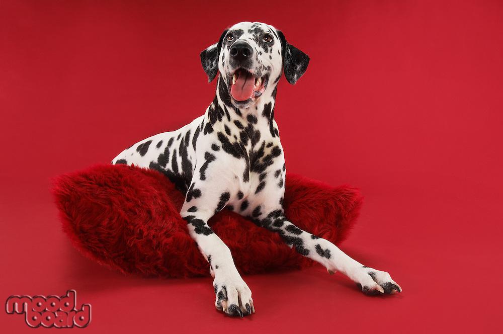Dalmatian Sitting on Cushion