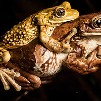 Mating milk frogs, Phrynohyas venulosa in the Osa Peninsula of Costa Rica
