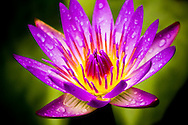 Purple Water Lily - Hana, Hawaii Edition of 100 EXP0168