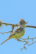 Brown-crested Flycatcher - Myiarchus tyrannulus sitting on a limb with its crest up