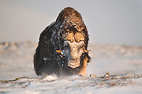 A large bull Musk Oxen, Ovibos moschatus, seemingly charging at me in Dovrefjell NP, Norway. Face covered in snow.