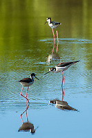 A trio of black-necked stilts wading through the salt marshes of North Florida's St. Marks National Wildlife Refuge in search of juvenile fish and small crustaceans, just outside of Tallahassee on the Gulf Coast.