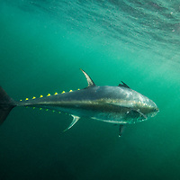 Atlantic bluefin tuna (Thunnus thynnus) off Antigonish, Nova Scotia, Canada. October .