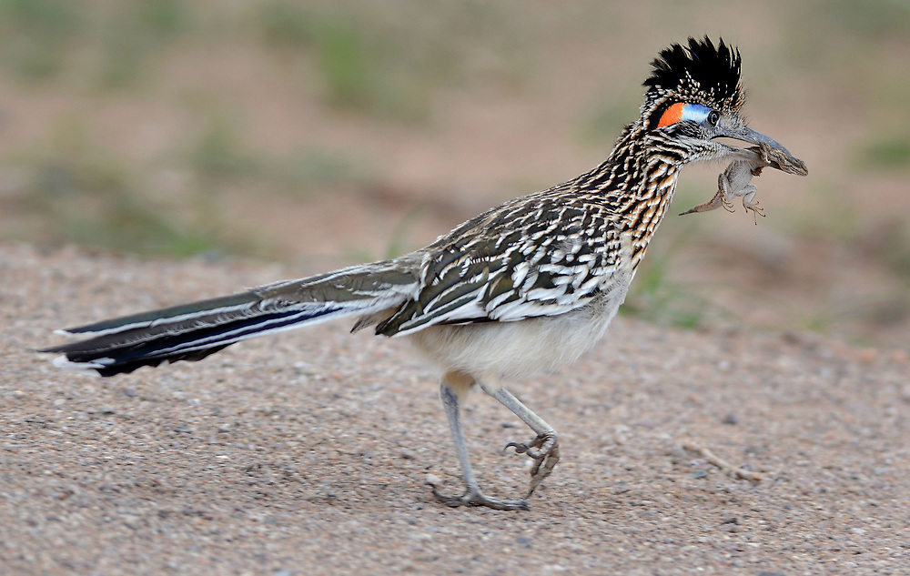 jt032917d/a sec/jim thompson/ This male road runner was having lunch on the run at the Rio Grande Nature Center. Wednesday March 29, 2017. (Jim Thompson/Albuquerque Journal)