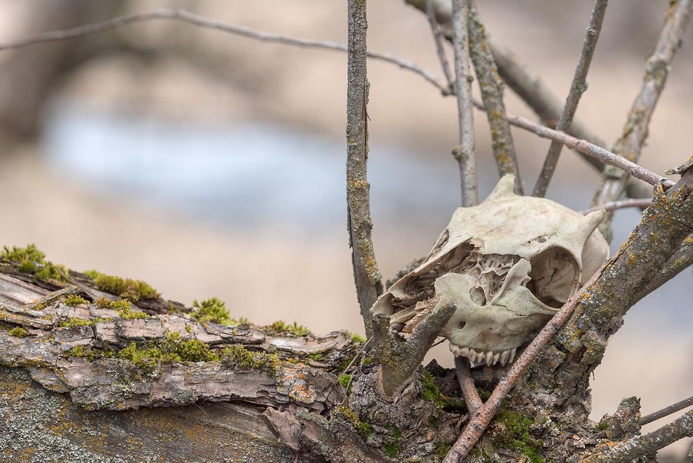 Deer skull in a tree, Enterprise Ponds Wildlife Area, Wallowa Valley, Oregon.