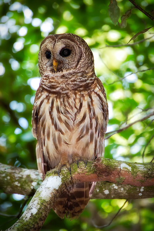 Barred owl perched on a branch in the Fakahatchee Strand. This owl let us get quite close to it for this photograph!