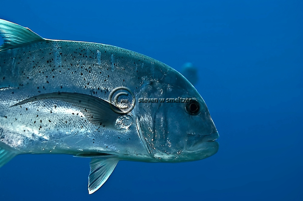 Ulua Giant Trevally, Caranx ignobilis,  (Forsskål, 1775), Lanai Hawaii