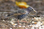 The European Starling, Common Starling or just Starling  (Sturnus vulgaris) is a passerine  bird in the family Sturnidae.