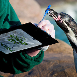 London, UK - 2 January 2014:  a penguin grabs a pen from the hands of a zookeeper during the annual animal stocktake at ZSL London Zoo. The compulsory count is required as part of ZSL London Zoo's zoo license and the results are logged into the International Species Information System (ISIS), where the data is shared with zoos around the world and used to manage the international breeding programmes for endangered animals.