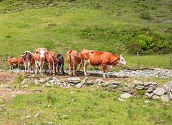 THEMENBILD - einen Kuhherde (Fleckvieh) auf einer Wiese mit Steinen, aufgenommen am 01. Juli 2019, Kaprun, Österreich // a herd of cows (Fleckvieh) on a meadow with stones on 2019/07/01, Kaprun, Austria. EXPA Pictures © 2019, PhotoCredit: EXPA/ Stefanie Oberhauser