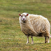In sheep's clothing!  A sheep with especially long woolen fleece is out to pasture in Heimaey in the Westman Islands in the south of Iceland.