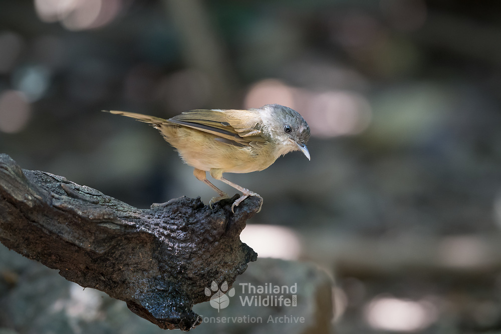 The brown-cheeked fulvetta (Alcippe poioicephala) (or brown-cheeked alcippe as the fulvettas proper are not closely related to this bird), is included in the Pellorneidae family. It was earlier also known as the quaker babbler.