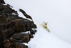 Polar Bear (Ursus maritimius) in Spitsbergen, Svalbard