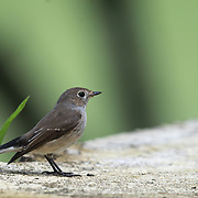 The Asian brown flycatcher (Muscicapa dauurica) is a small passerine bird in the flycatcher family Muscicapidae. The word Muscicapa comes from the Latin musca, a fly and capere, to catch.