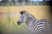 Zebra foal in the South Luangwa National Park..South Luangwa National Park, Zambia, Southern Africa..© Zute & Demelza Lightfoot.www.lightfootphoto.com..