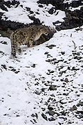 Leh - Sunday, Dec. 3, 2006: An adult male snow leopard (Unica unica) climbs a snowy slope in Hemis National Park, Ladakh. (Photo by Peter Horrell / www.peterhorrell.com)