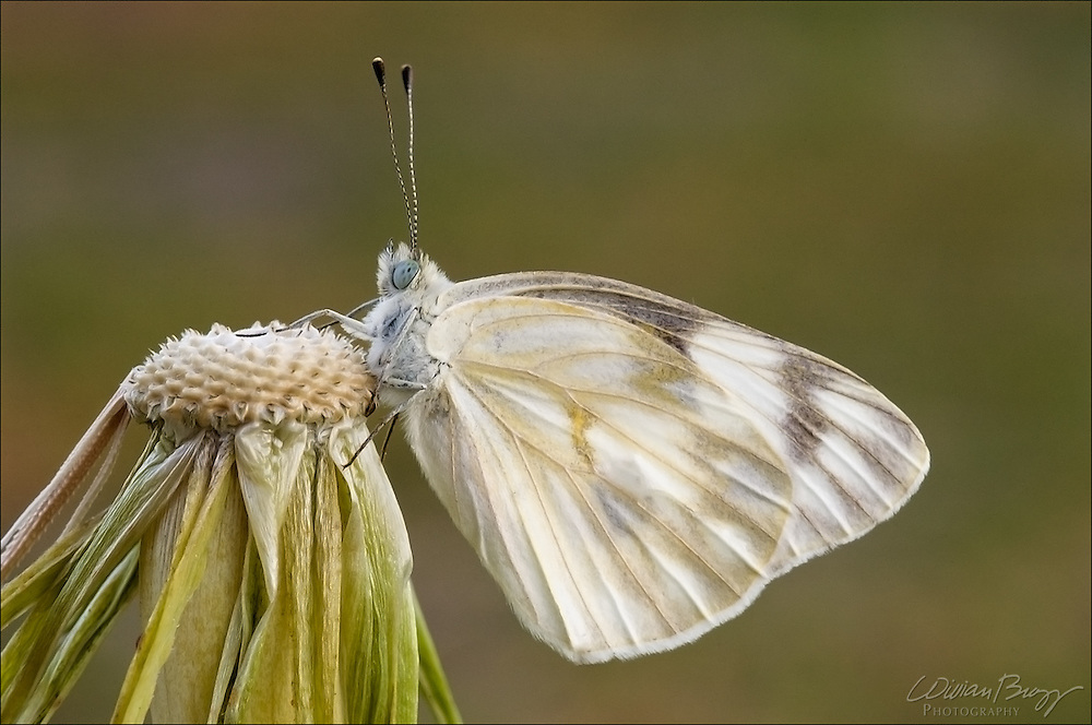 Checkered White butterfly (Pontia protodice)
