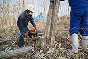 Trädfällning i ett stort område med mycket hög radioaktivitet vid byn Shidamyo. Fukushima Prefektur, Japan<br /> <br /> Men are cutting trees in a large area with extremely high radiation. Shidamayo, Fukushima Prefecture, Japan