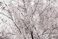 Tri Coloured Beech Tree in monochrome.