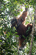 An adult male Bornean orangutan hangs in a tree in the forests of Tanjung Puting National Park, Indonesia.