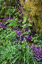 Purple toothwort - a parasite usually found on willow and hazel. Lathraea clandestina