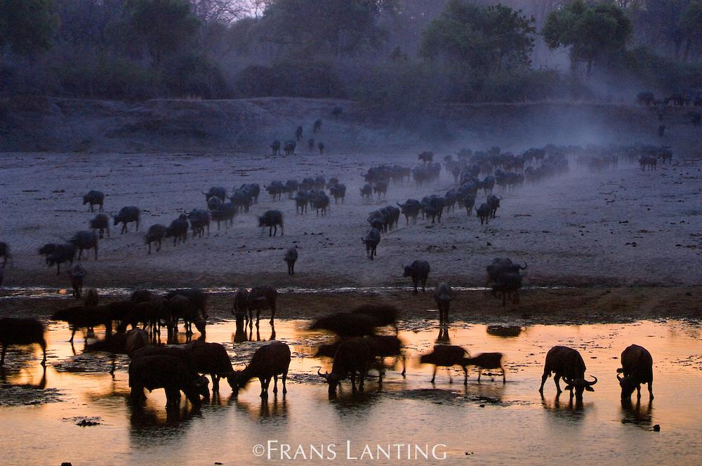 Elephants, Loxondonta africana, and Cape buffaloes, Syncerus caffer, at twilight, Luangwa River, Zambia